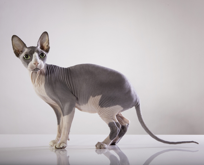 Sphynx Cats And Kittens